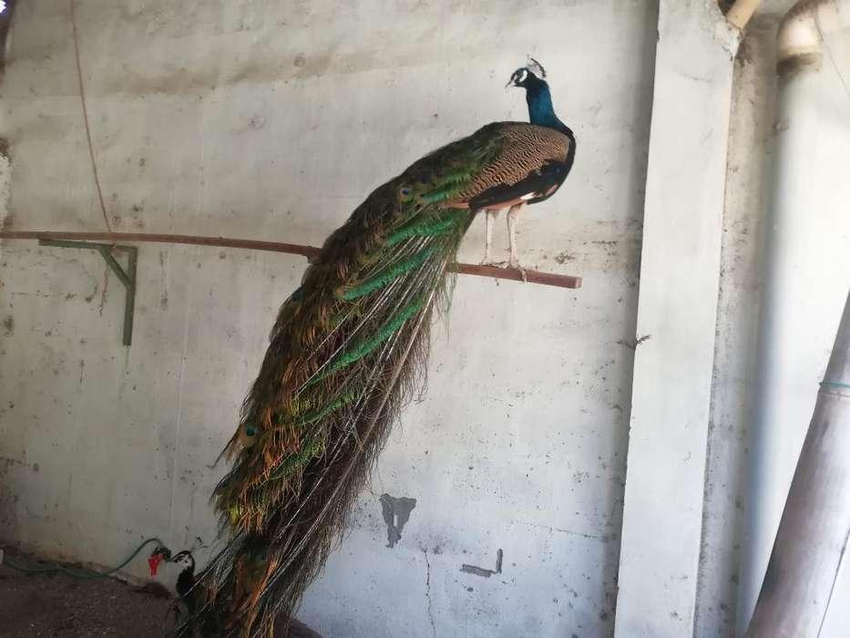<strong>aves</strong> Domesticas de Corral