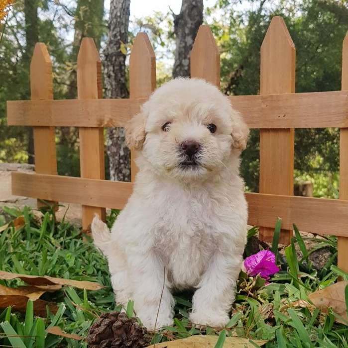 Mini French Poodle Hembra