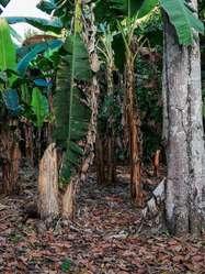 Venta de Finca de 8.5 hectáreas a la salida de Quevedo, vía a San Carlos