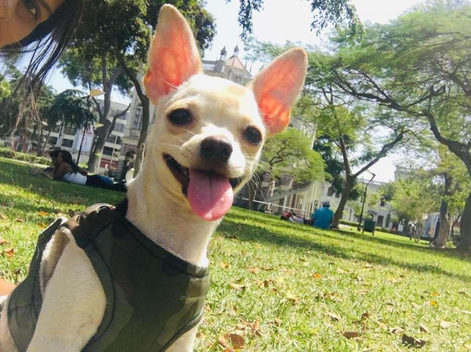 Vendo Cachorro Chihuahua 7Meses