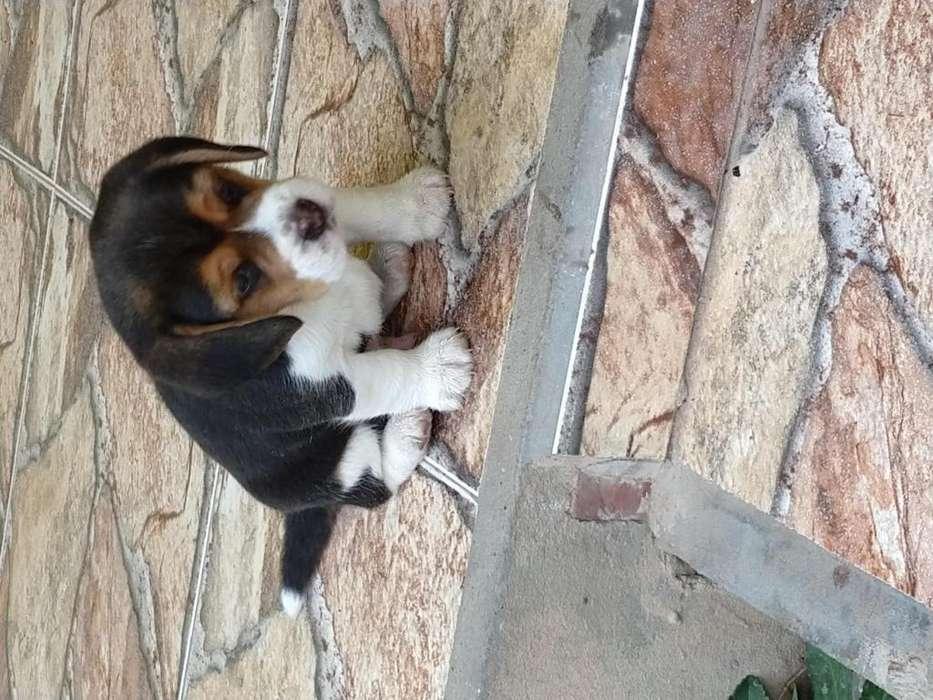 Hermoso cachorro Beagle tricolor
