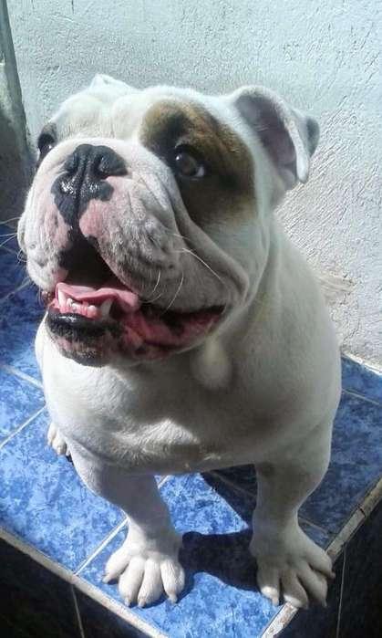 <strong>bulldog</strong> Inglés Busco Novia