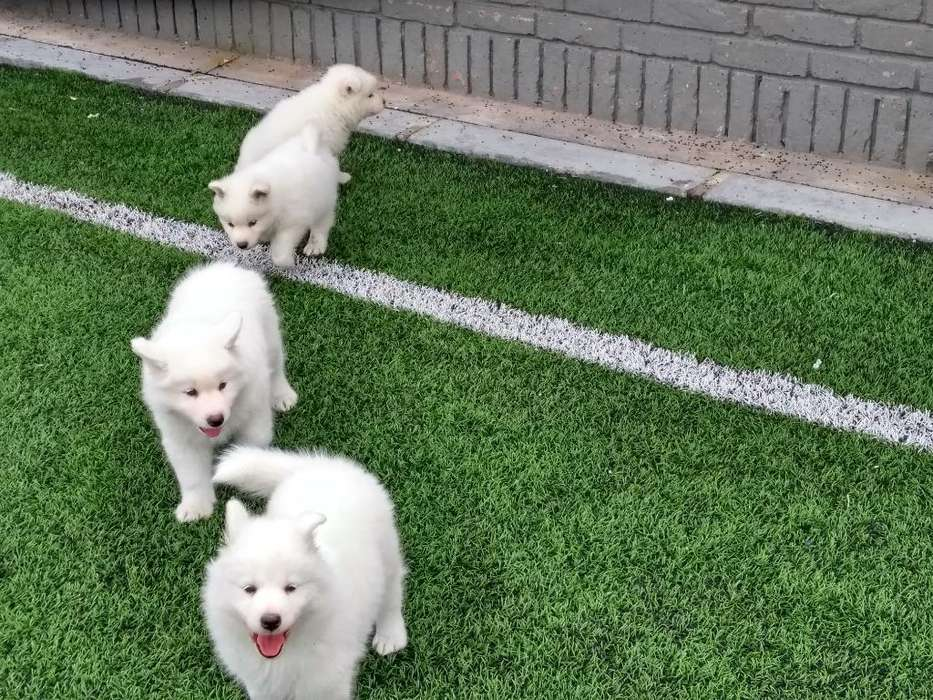 Admirables Cachorros <strong>samoyedo</strong>s