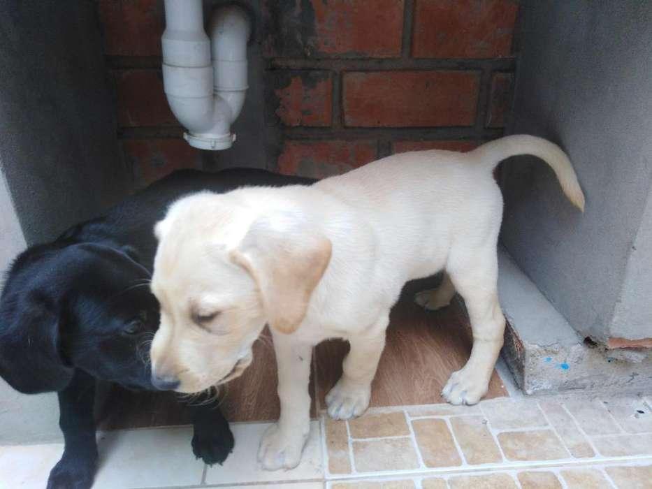 <strong>cachorro</strong>s Labradores 2 Meses