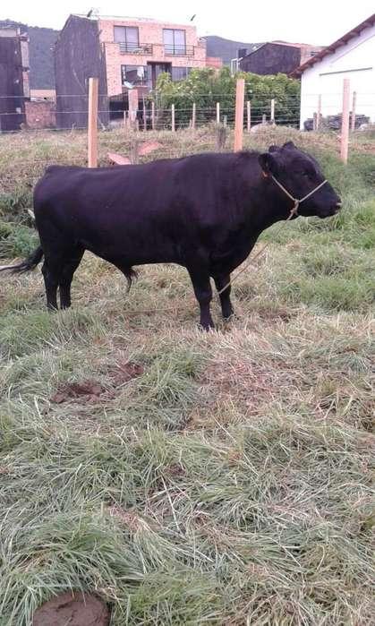 Se vende toro reproductor angus