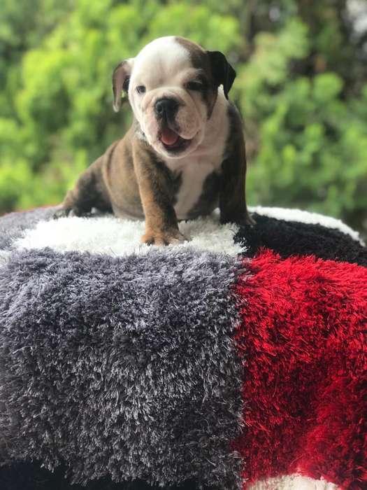 belloos bulldog ingles