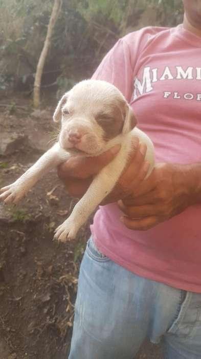 Pitbull en Venta
