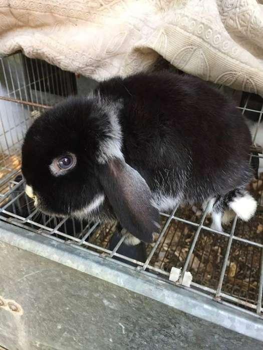 Cabaña El Mago vende Conejitos enanos de orejas caídas Holland Lop y Fuzzy Lop hermosos para mascotas