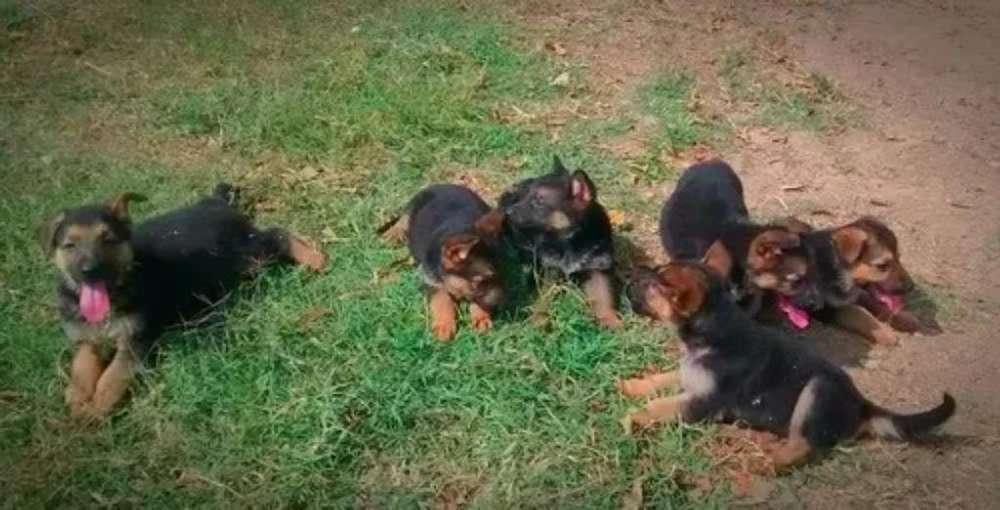 Cachorros Pastor Alemán Buena Genética