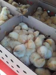 Pollos Doble Pechuga