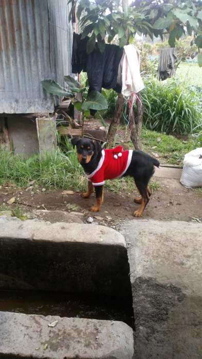 Se Vende Canino Raza Rottweiler