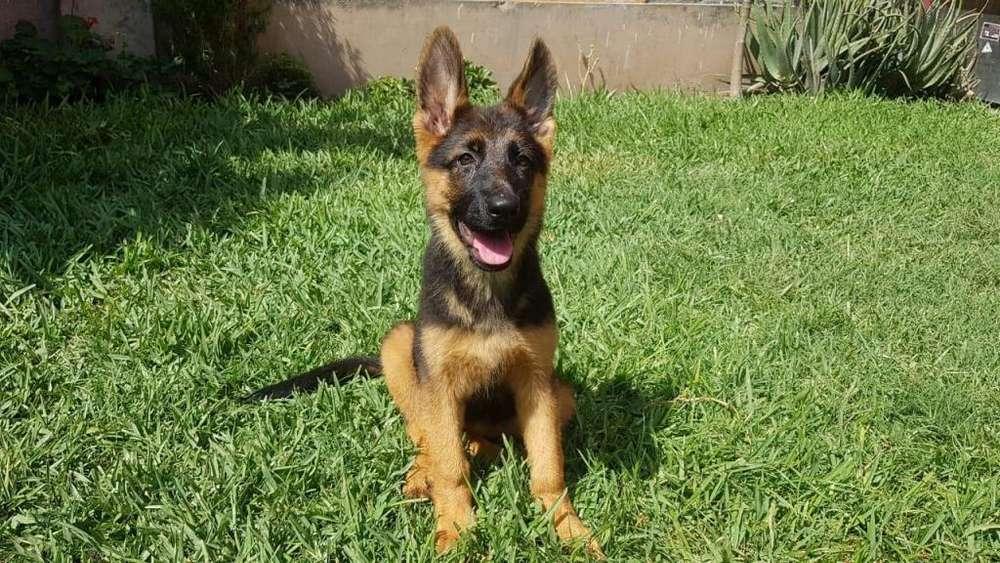 Cachorros Pastor Aleman, PEDIGREE ROSADO
