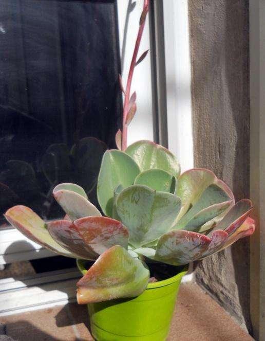 Echeveria gibiflora metallica maceta 13