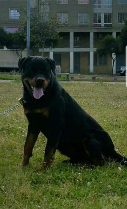 Busco Novia <strong>rottweiler</strong>