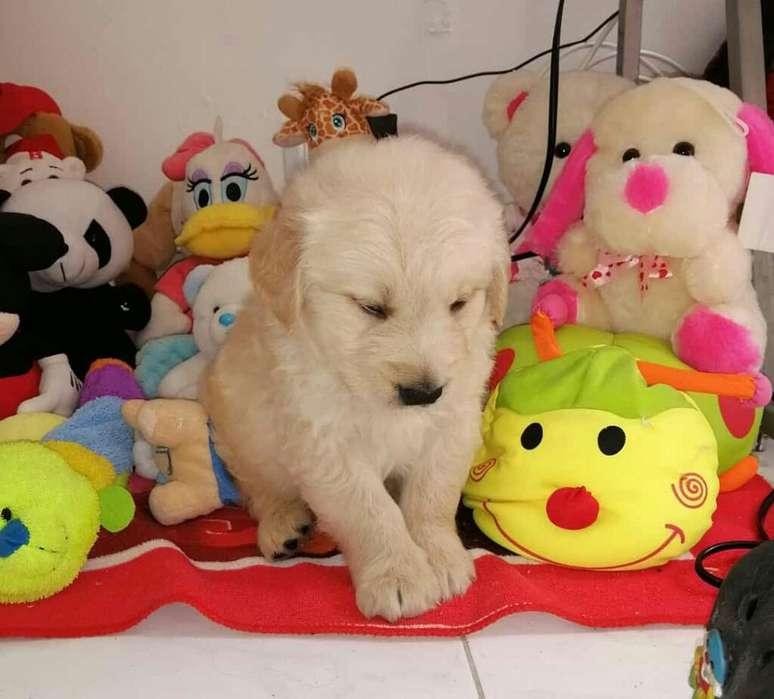Originales Cachorros de Golden Retriever