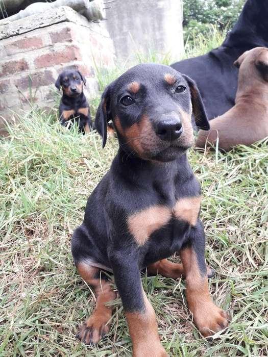 Se Vende Lindos <strong>cachorro</strong>s Dóberman Puros