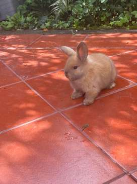 Tierno conejo enano belier