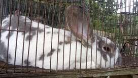 Se vende conejo rex mediano