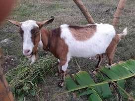 Vendo cabro y cabra
