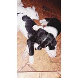 Cachorros dalmata puros originales