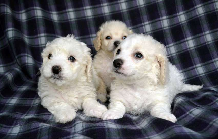 Vendo french poodle 0
