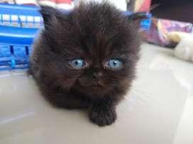 Vendo Hermoso Gato Persa Puro