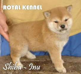 SHIBA INU !ESPECTACULARES!  DE ROYAL KENNEL