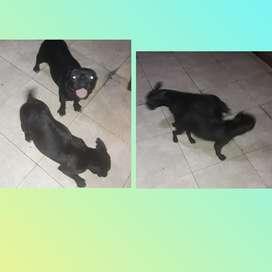 Bulldog Frances Madre Y Hija sin Cesaria