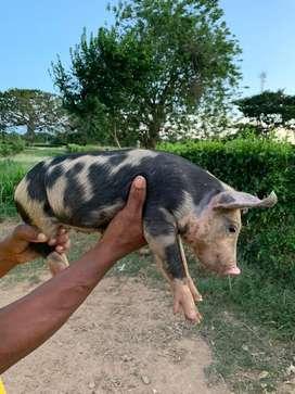Vendo cerdos pietran