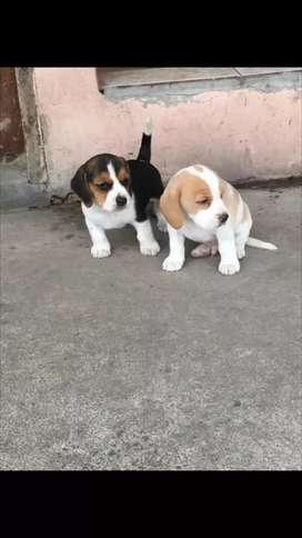 Beagles alta genética en venta tricolor y limon