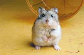 se vende Hamster rusos