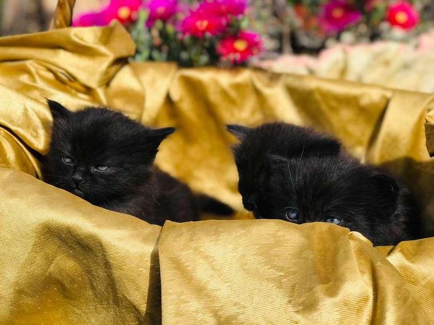 Gatos Persa 0