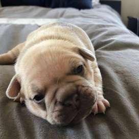 hermosos perros bulldog con vacunas y desparasitados de 59 dias