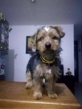Se vende cachorro Yorkshire Terrier