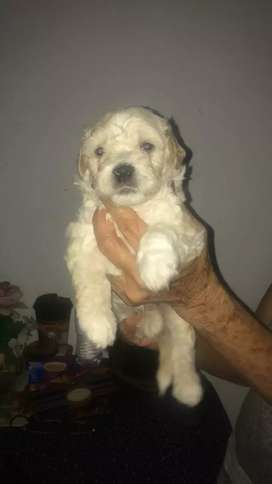 French poodle mini dos meses