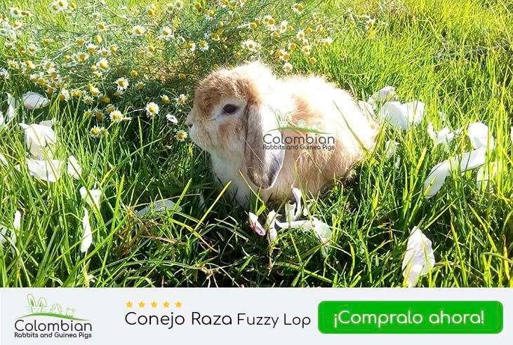 Venta de conejos Fuzzy Lop 0