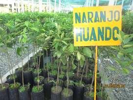VENTA DE PLANTONES DE NARANJO HUANDO, TANGELO