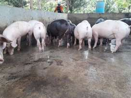 Se Venden Cerdos para Pesar de 200 Libs