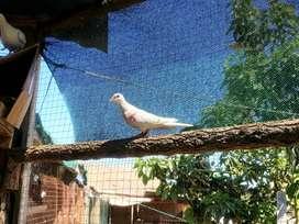 Palomas africanas (cuculis) blancas