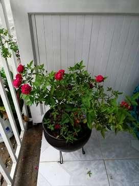 Rosas y matas vivas