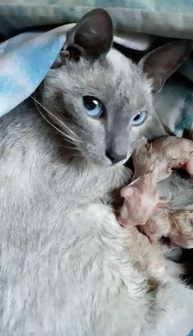 Gatos siameses gatitos siameses hembras plantel