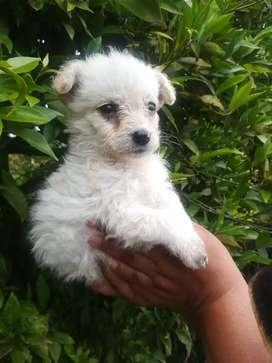 Cachorrita french poodle