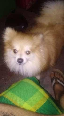 Presto mi perro pomerania para perrita de igual raza q este en calor para sacar cría y que me dé unos dos perros
