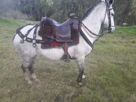 Vendo   ermoso  caballo    900  negosiable