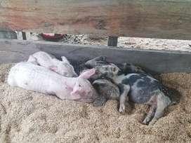 Inversionista para cría de cerdos