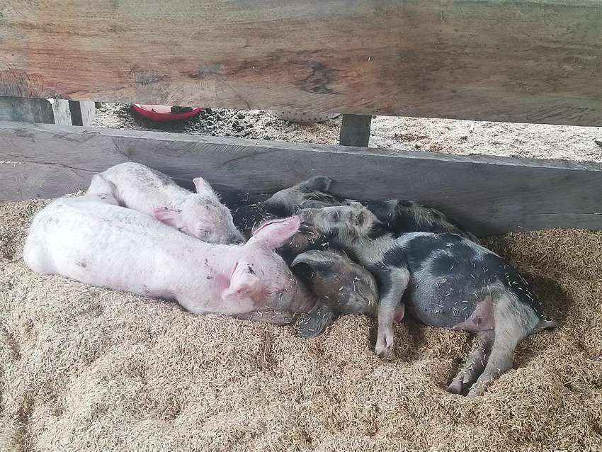 Inversionista para cría de cerdos 0