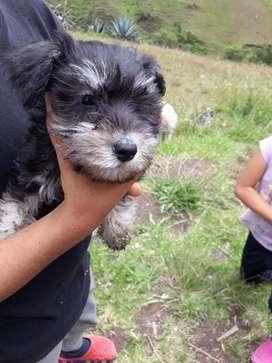 Se venden cachorros Schnauzer