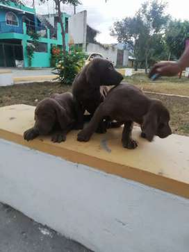 CACHORRITOS WEYMARANER