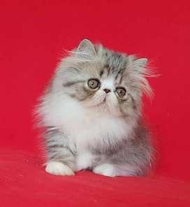 Gatos Persas Pedigree 3 meses