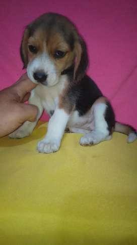 Beagles Concentidos Ala Venta Una Pareja
